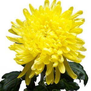 Yellowweb2