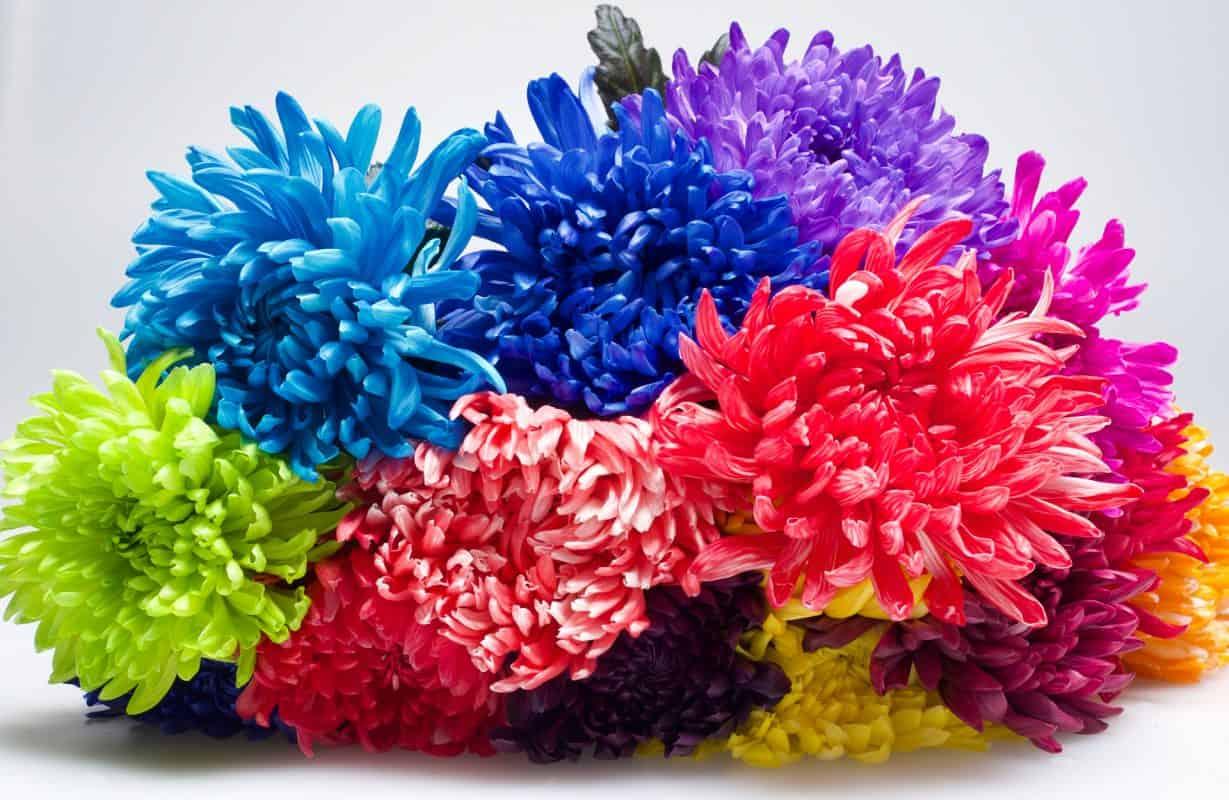 flower dye chrysant
